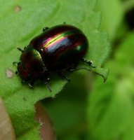 Chrysolina cerealis -1