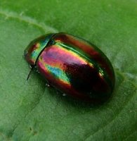 Chrysolina cerealis -3