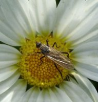 Empis sp-1