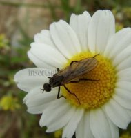 Empis sp-3