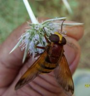 Volucella inanis -2