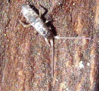 Tomocerus vulgaris-