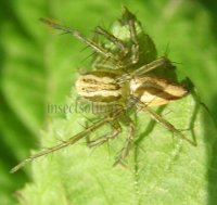Oxyopes salticus -1