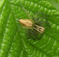 Oxyopes salticus-5