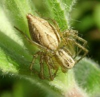 Oxyopes globifer-6
