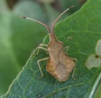 Coreus marginatus -5