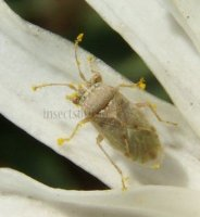 Geocoris sp