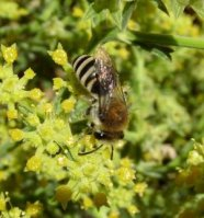 Colletes fodiens-1
