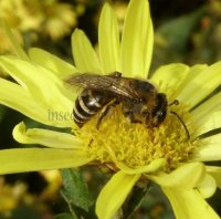 Colletes hederae-3