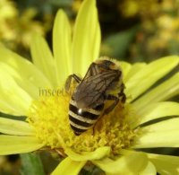 Colletes hederae-4