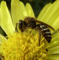 Colletes hederae-5
