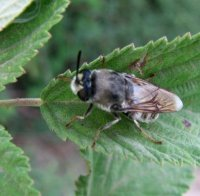 Colletes carinatus