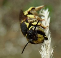 Anthidium florentinum-10