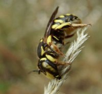 Anthidium florentinum-11
