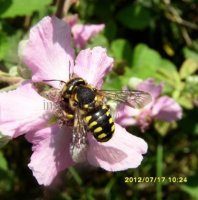Anthidium florentinum-15