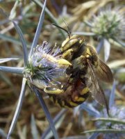 Anthidium florentinum-1