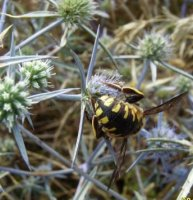 Anthidium florentinum-2