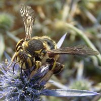 Anthidium florentinum-4