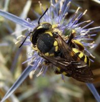 Anthidium florentinum-6